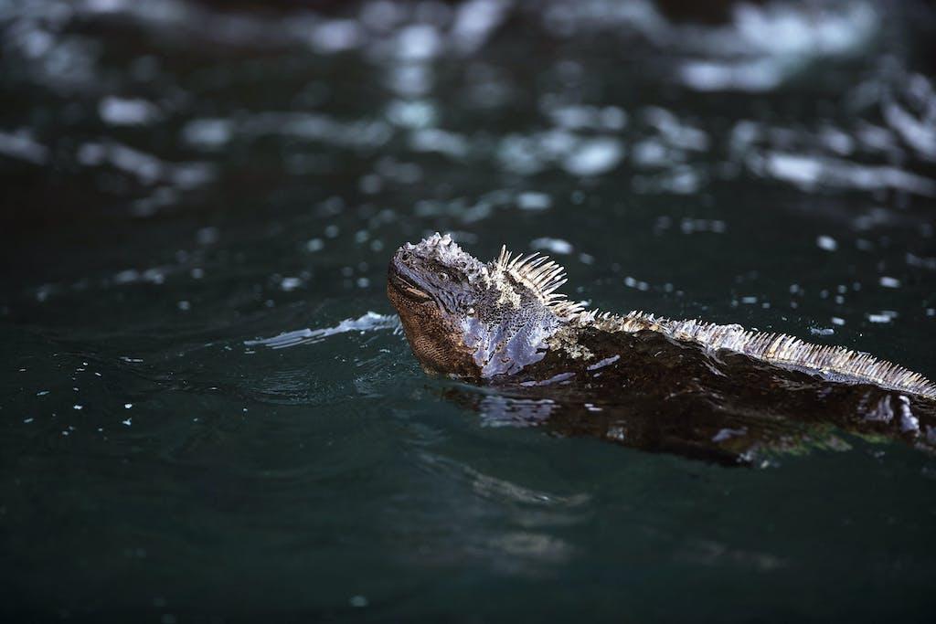 Marine iguana swimming off the coast of Fernandina Island