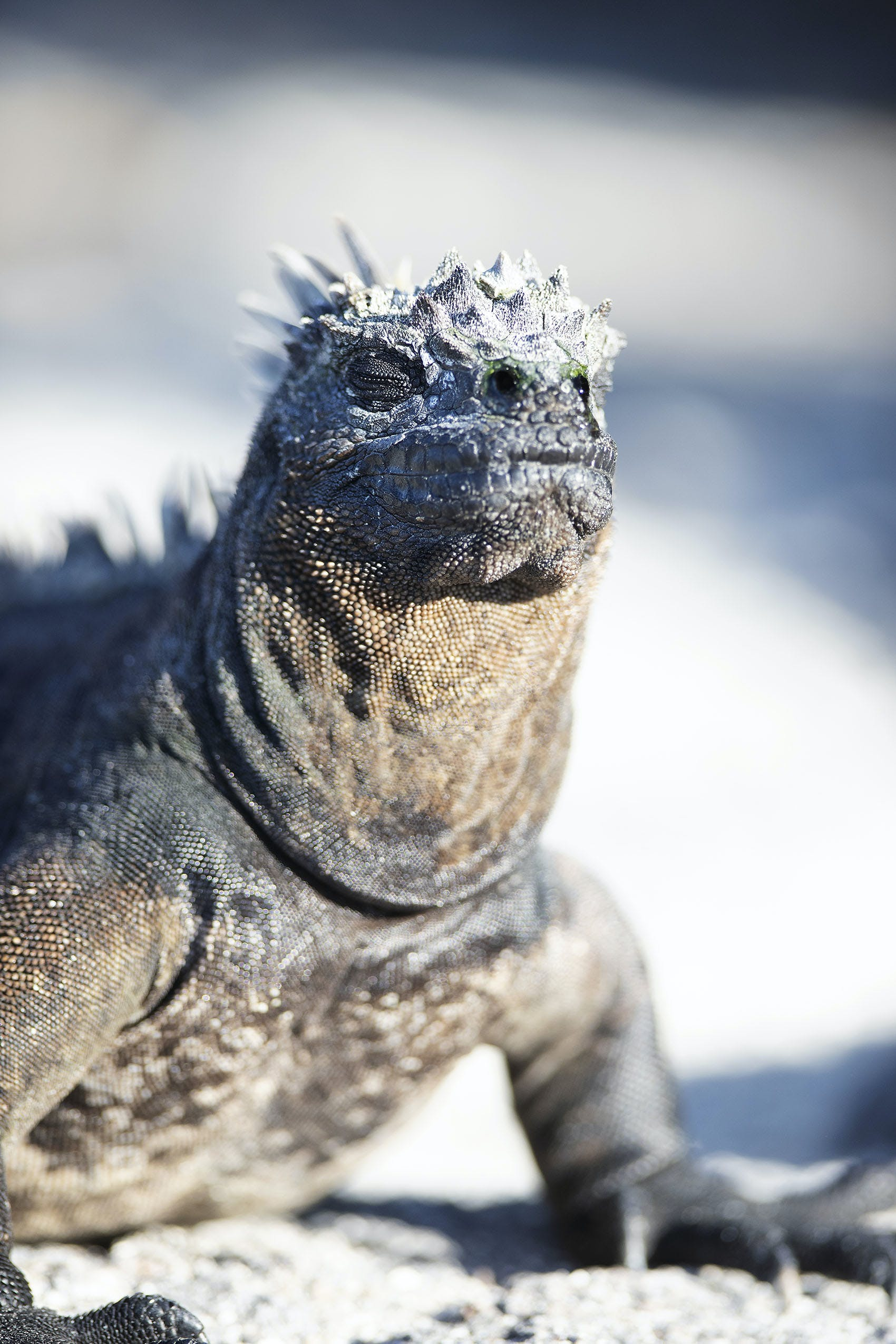 Marine iguana in Punta Espinoza, Fernandina Island