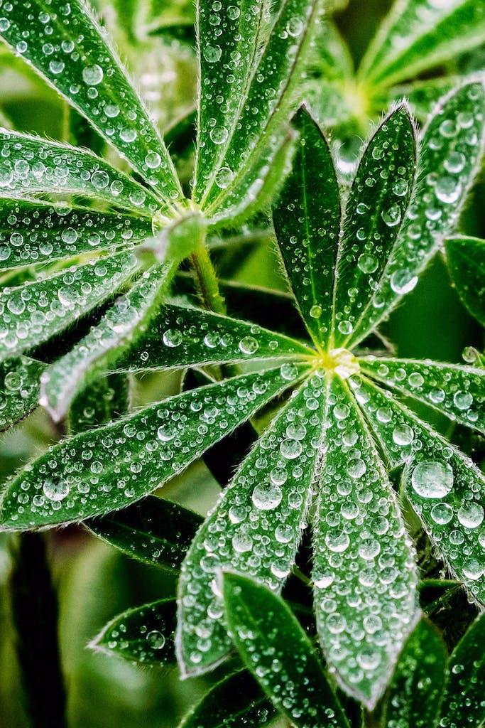 macro-photography-Lupine-leaves