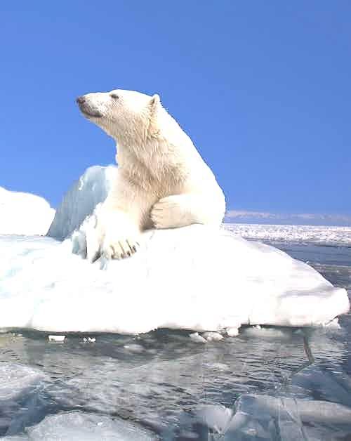 silversea-arctic-cruise-polar-bear