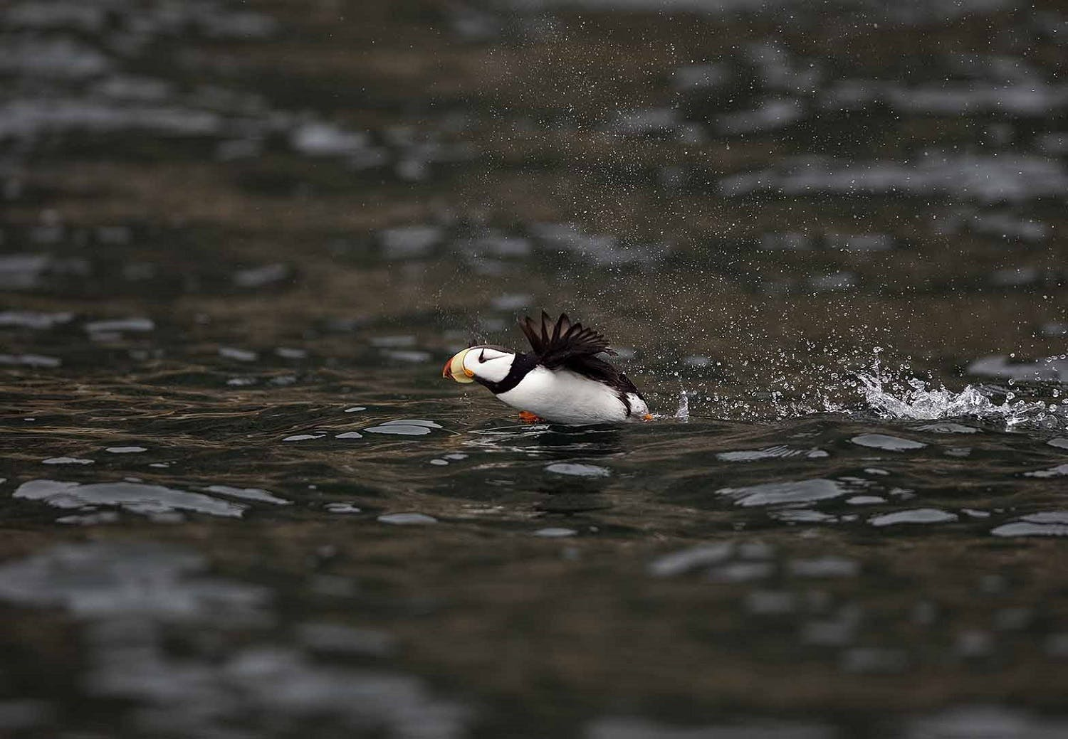 Horned Puffin takes flight
