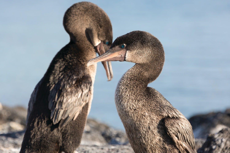 Flightless-Cormorant-Galapagos