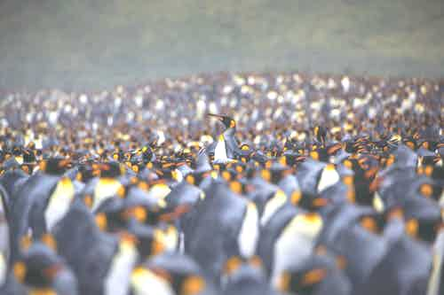 King Penguins - South Georgia