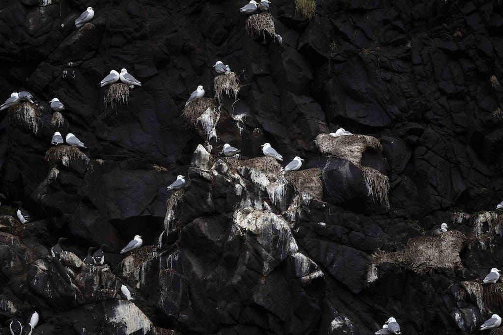 Nesting Kittiwakes - birdwatching in the Russian Far East