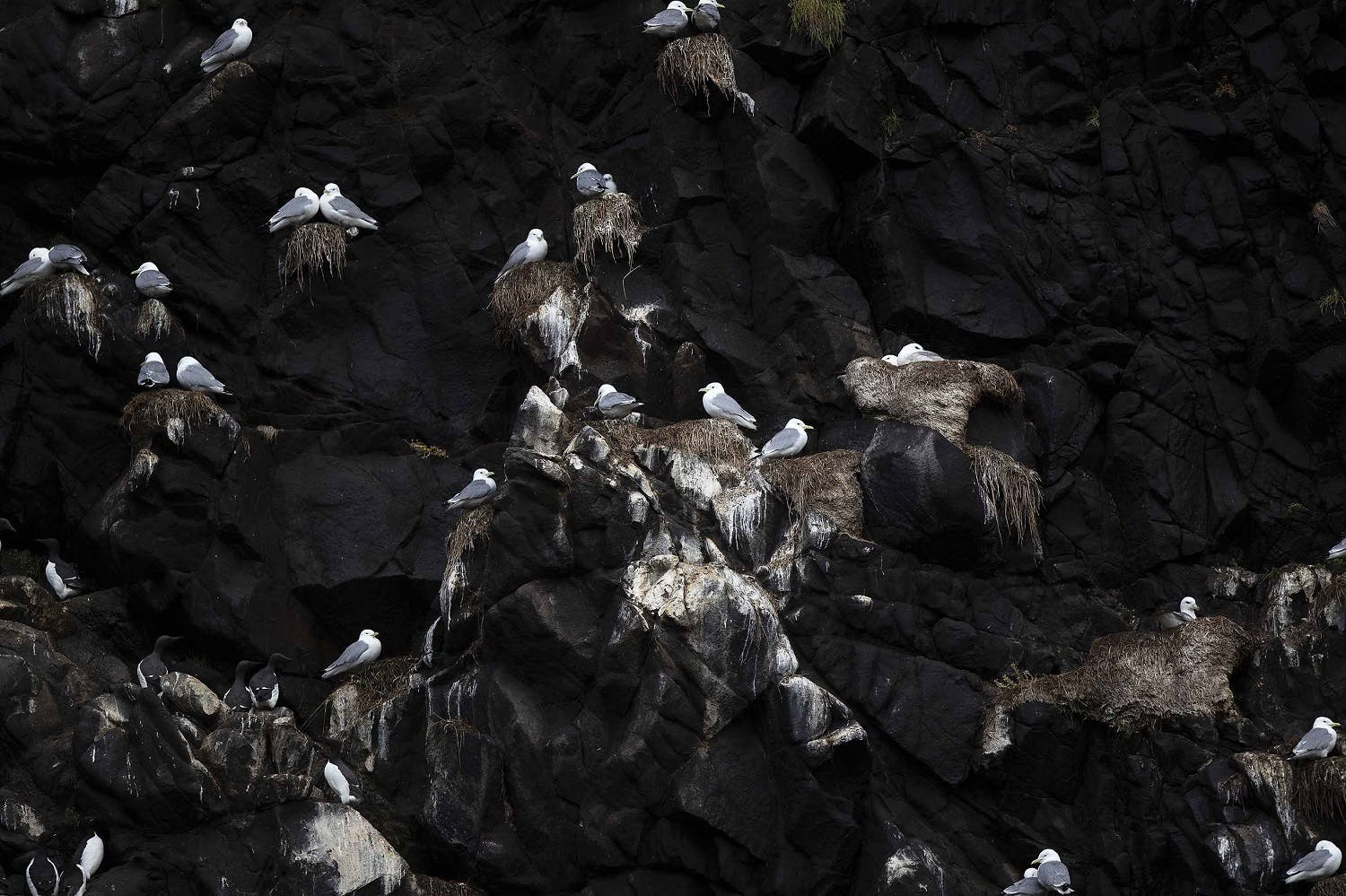 Nesting Kittiwakes - birdwatching in the Russian Far East