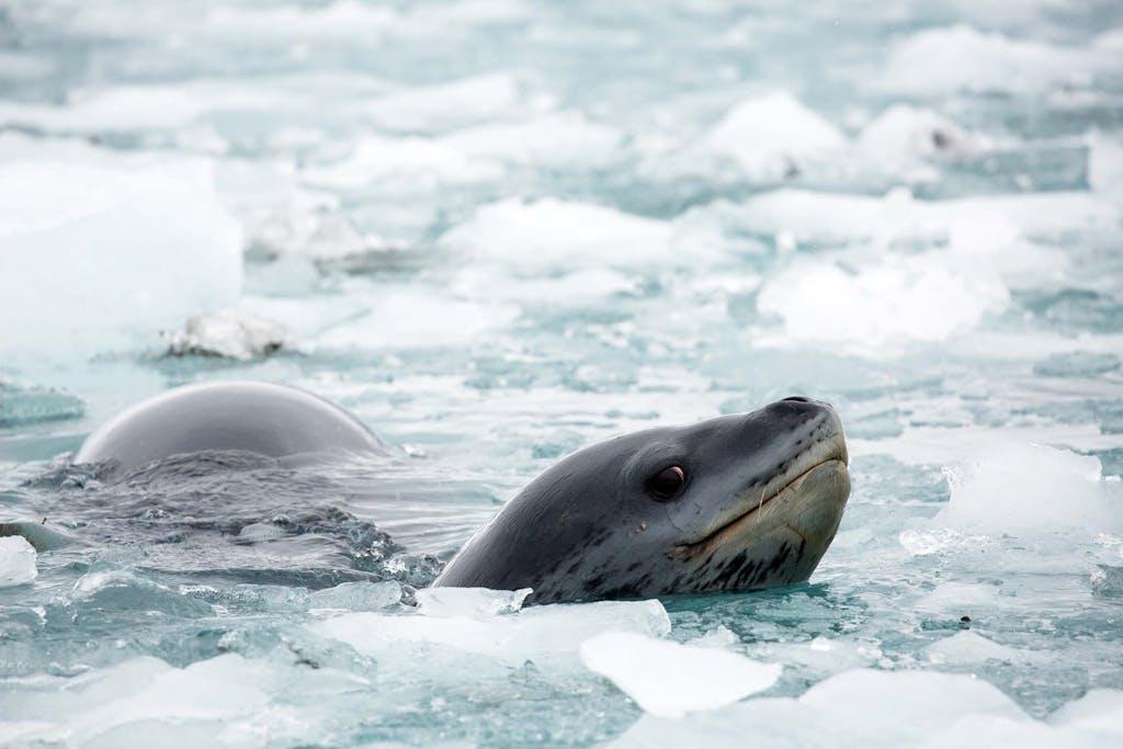 -Leopard-seal-Nordenskjold-Glacier-South-Georgia