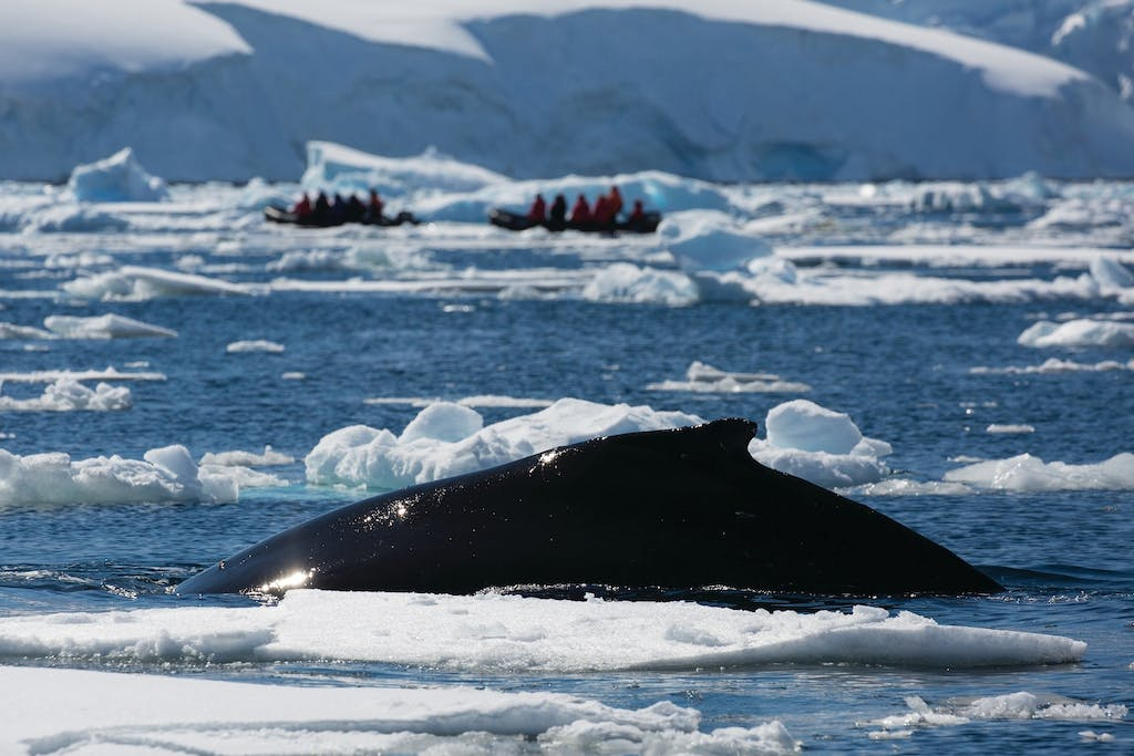 Whalewatching from Zodiacs
