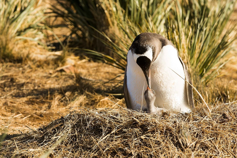Godthul-South-Georgia-Penguins