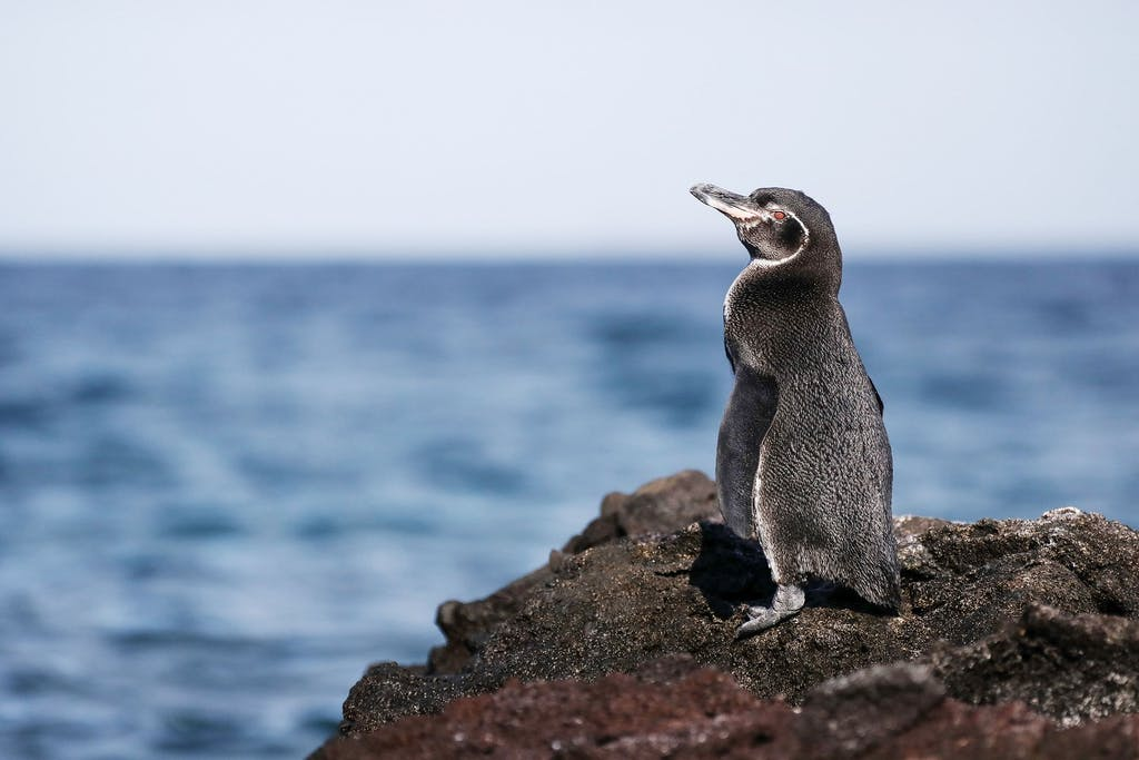 Galapagos Penguin, Isabela Island, the Galapagos