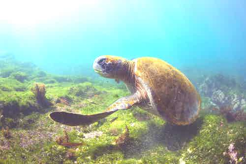 Pacific Green Sea Turtle in the Galapagos