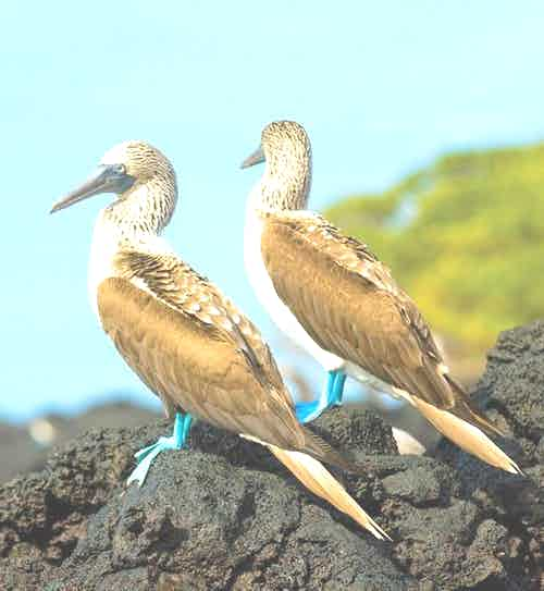 baltra-silversea-galapagos-cruise-blue-footed-booby