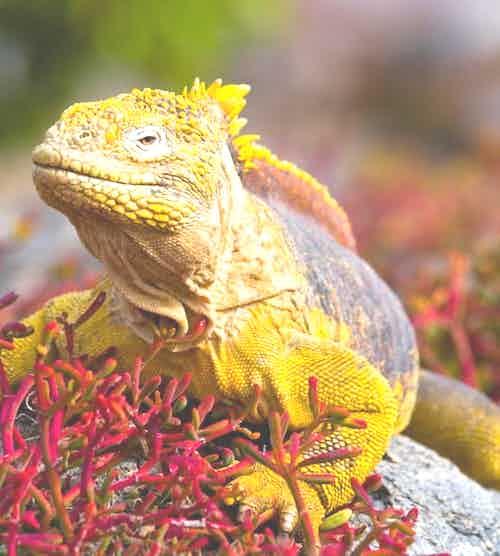 estacion-darwin-silversea-galapagos-cruise-land-iguana.jpg