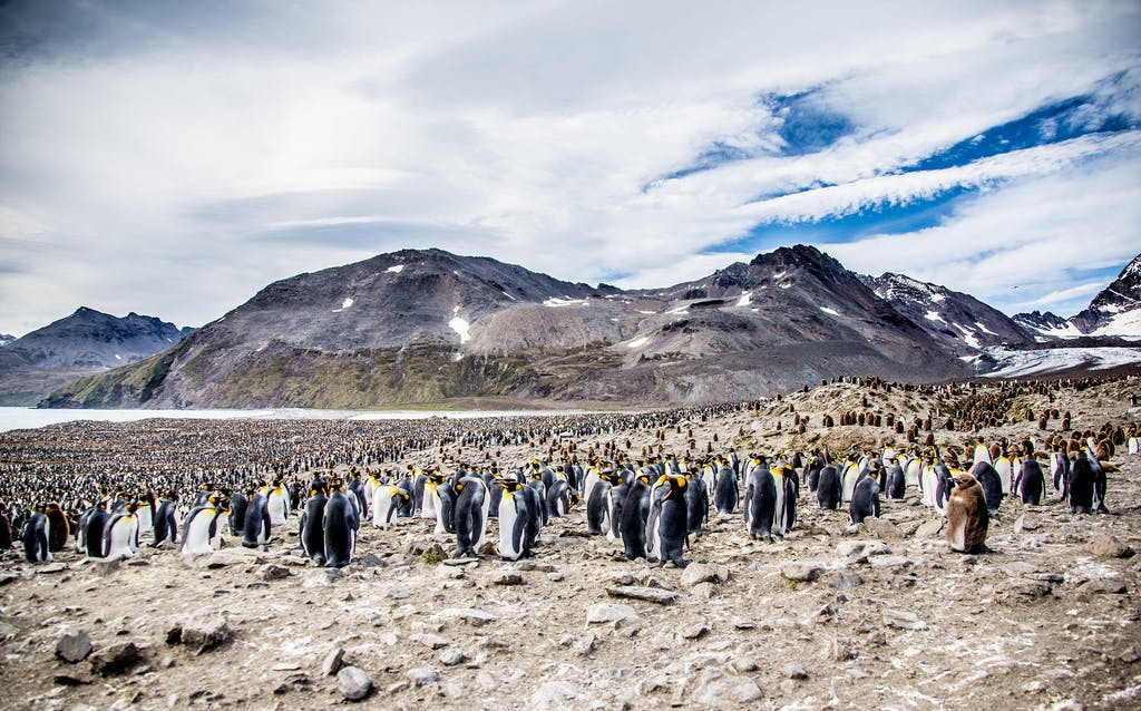 King Penguin colony in St. Andrew's Bay, South Georgia