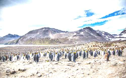 King-Penguins-in-South-Georgia.jpg