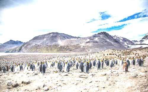 King-Penguins-in-South-Georgia.jpg