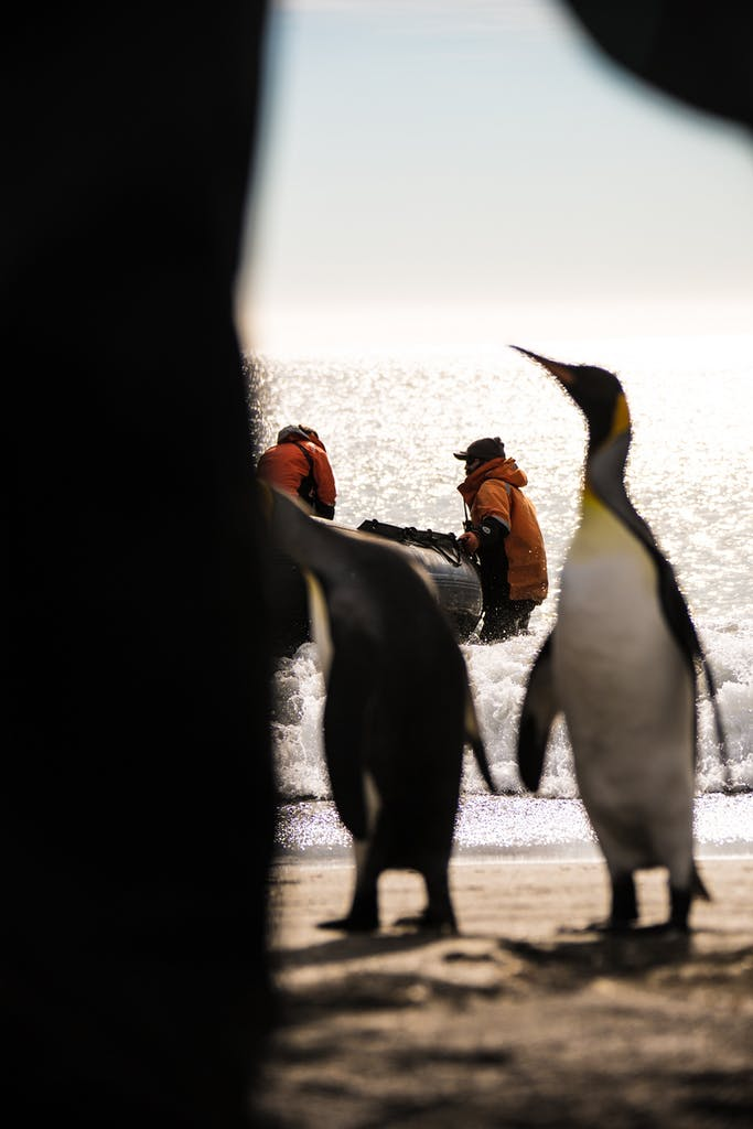 Silversea's expedition team members hold a Zodiac while inquisitive King Penguins approach