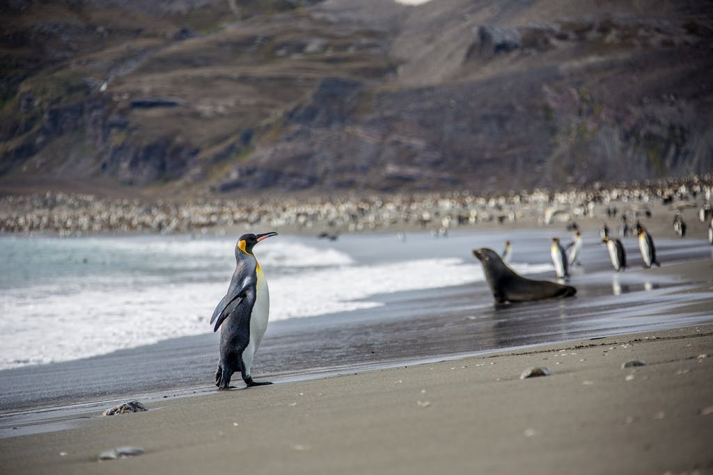 King Penguin walks up the beach in South Georgia