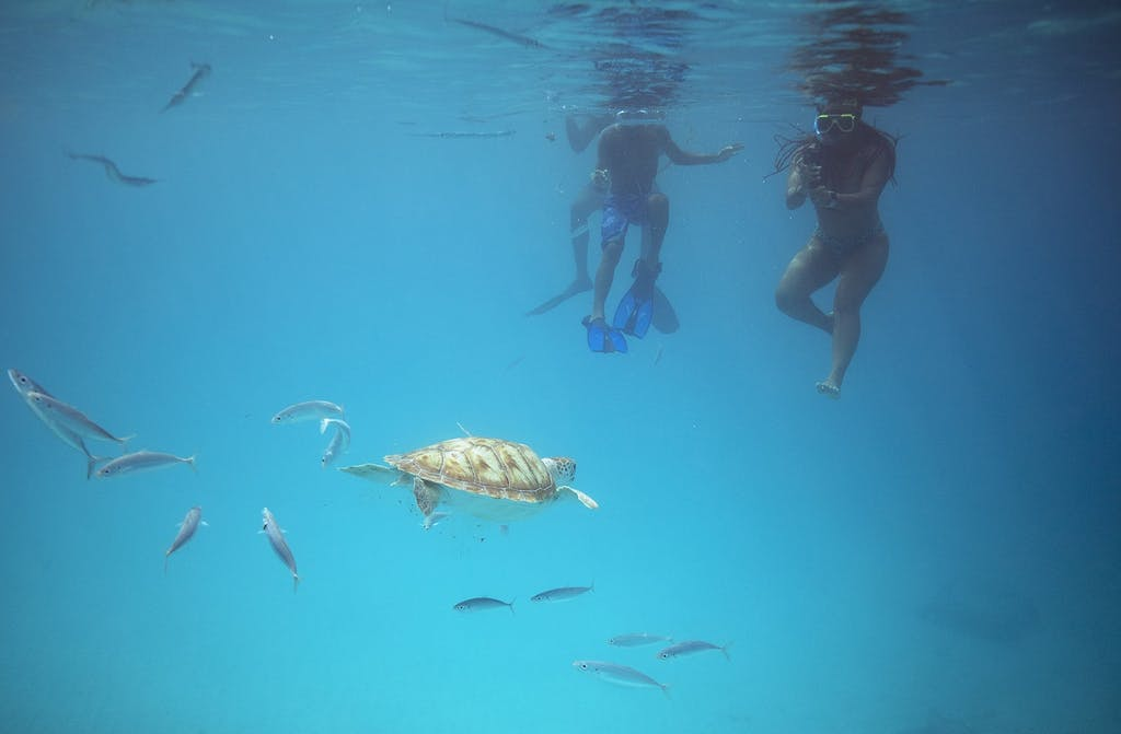 Swimmers with a green sea turtle in Barbados