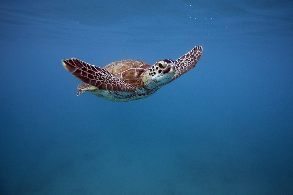 Green sea turtle in Barbados