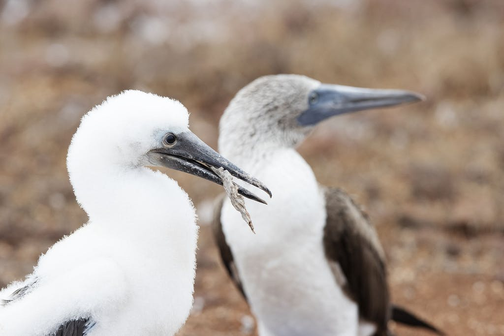Blue-Footed Booby chick in the Galapagos