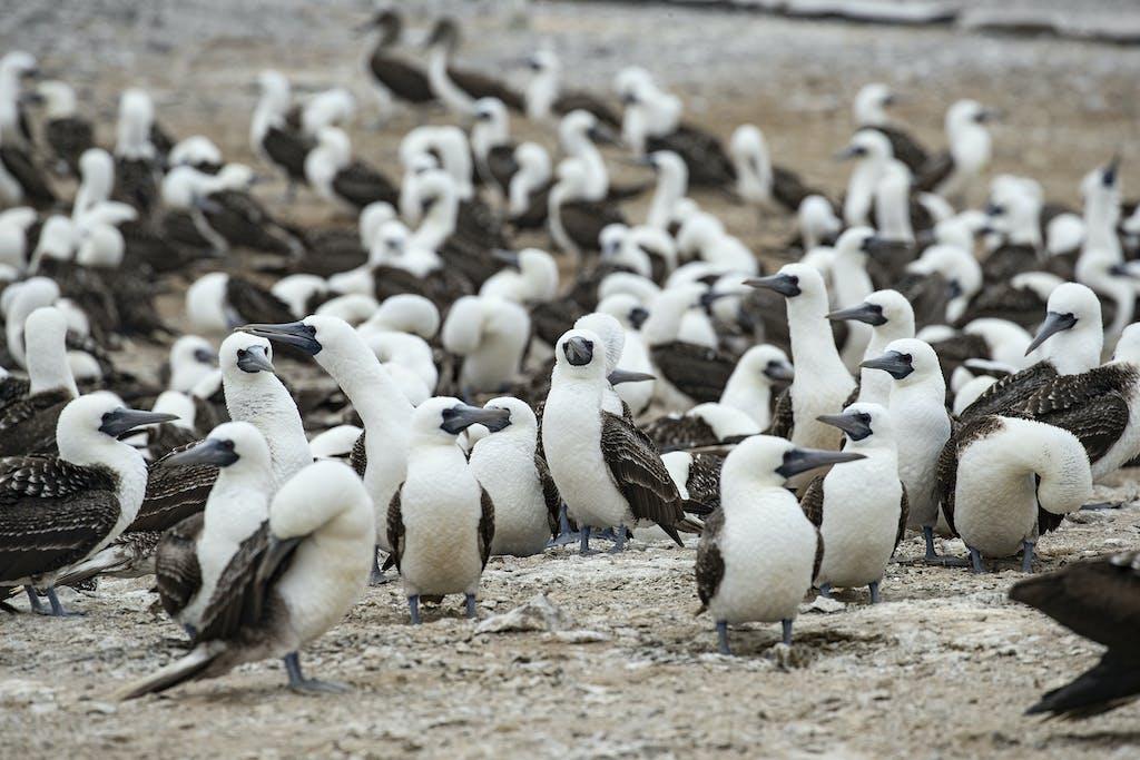 Colony of Blue-footed Boobies in Lobos de Tierra Island