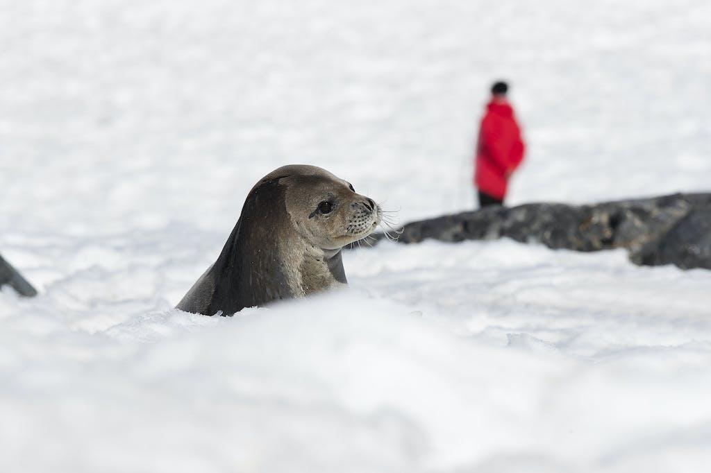 Fur seal in Antarctica