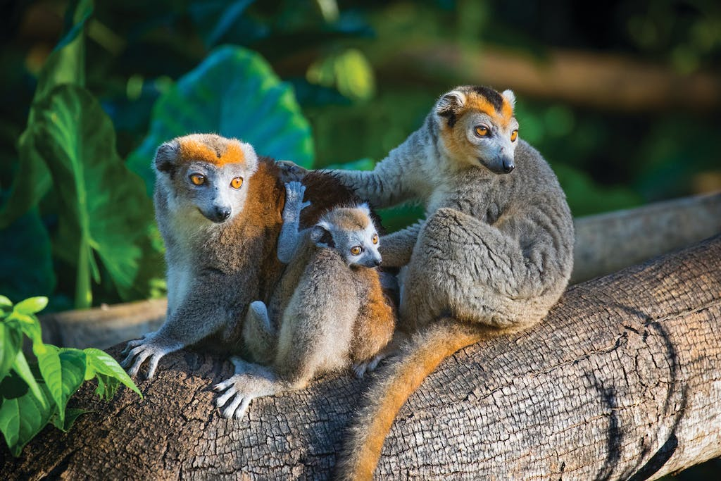 Crowned lemurs in Nosy Be, Madagascar