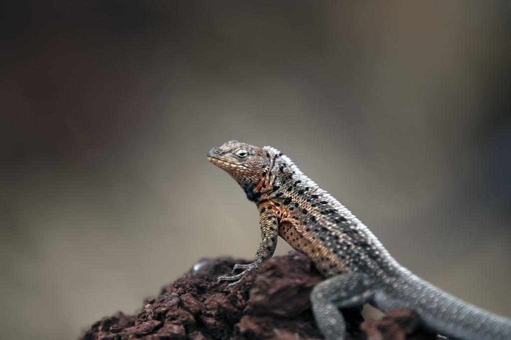 Santiago Lava Lizard in Sullivan Bay