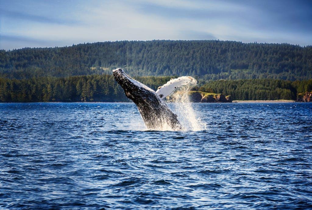 Humpback Whale Breaching Water in Kodiak, Alaska.