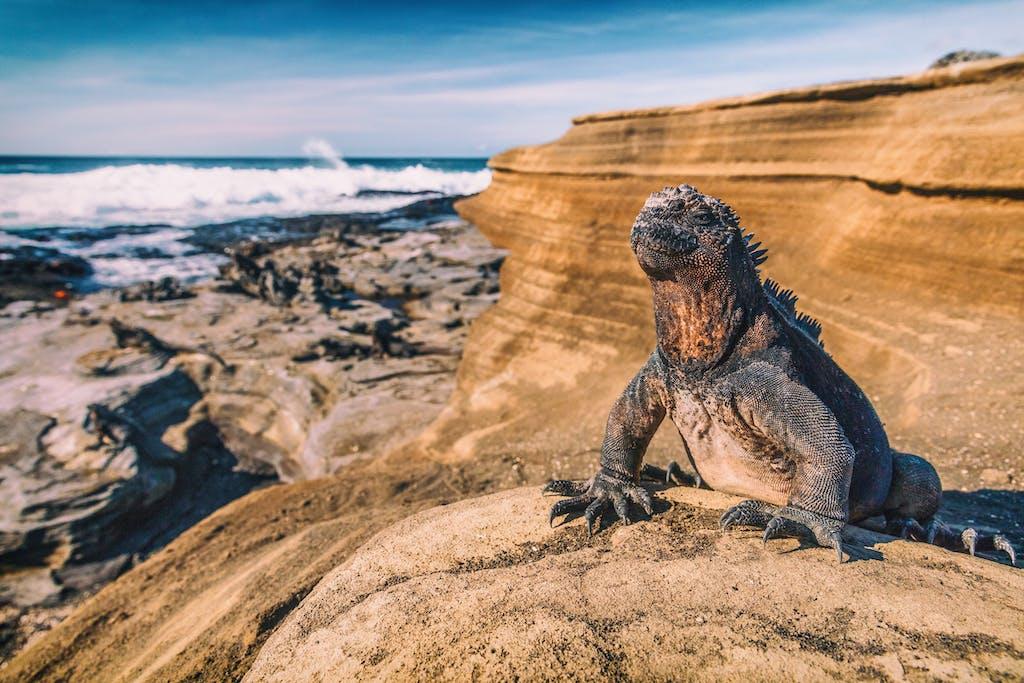 Iguana in Puerto Egas, Galapagos.