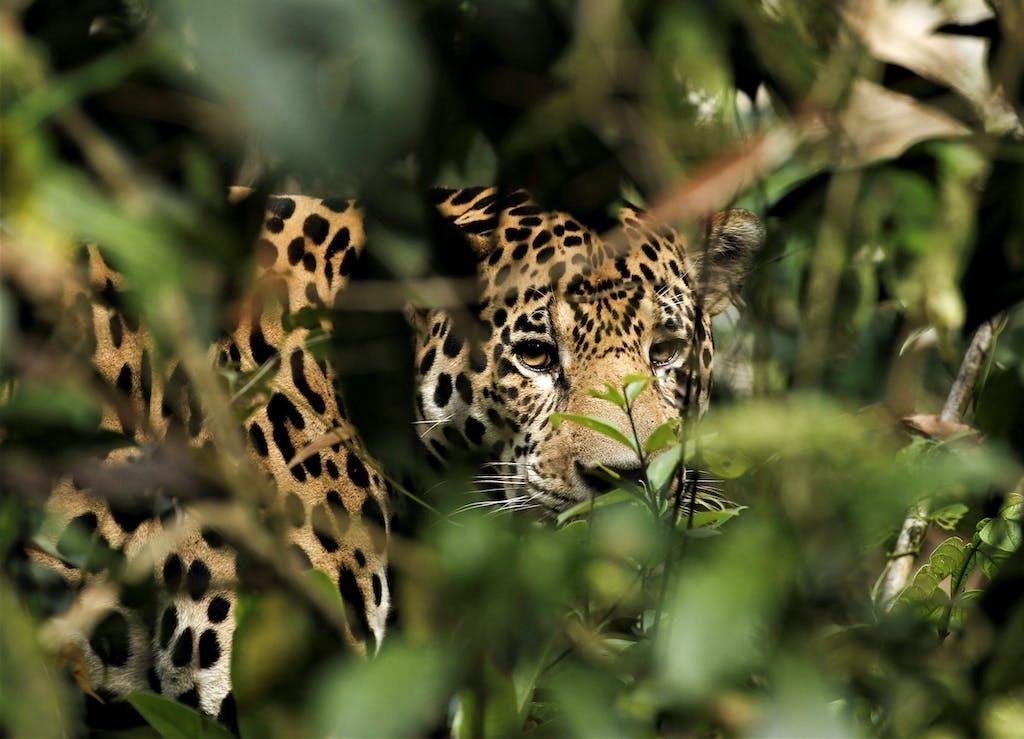 Jaguar in the Amazon rainforest.