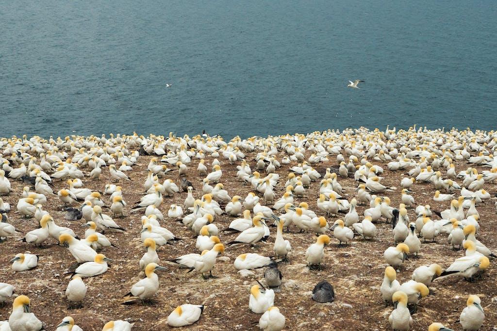 Colony of Northern Gannets in Bonaventure Island